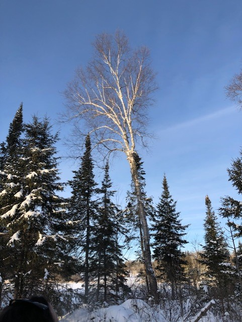 Image of birch tree in Canadian winter